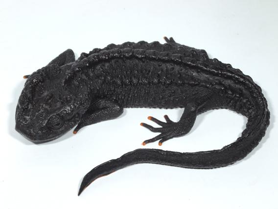 Nieuwe Salamander Ontdekt