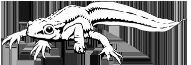 Salamanders - De website van de Nederlandse Salamandervereniging